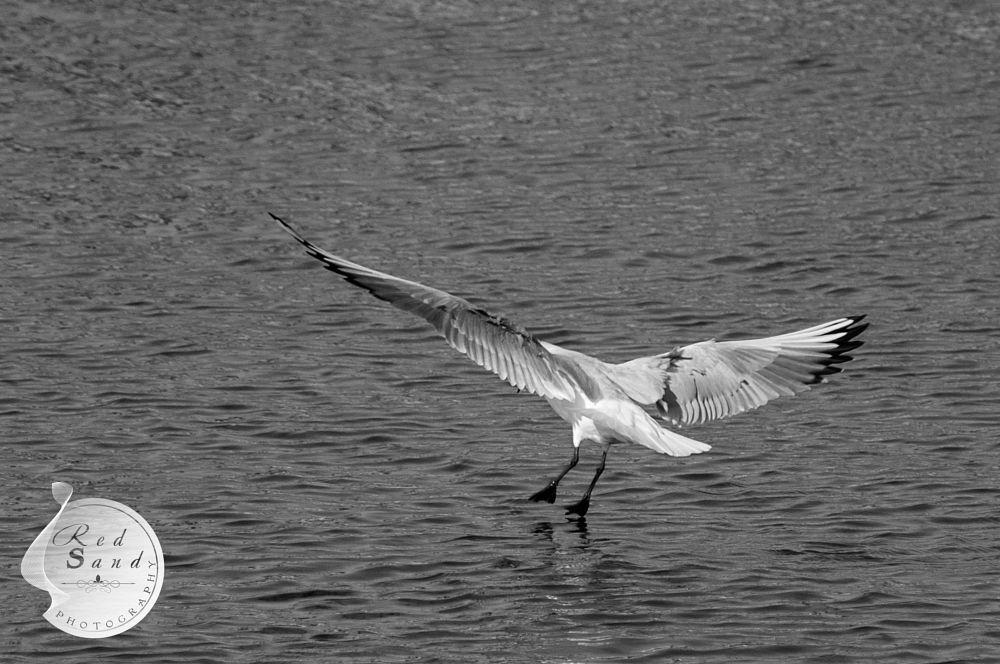 Photo in Black and White #landing #black n white #sea #waves #bird #wings #freeze action #details #sharpen #nikon #nikkor #red sand #photography #kuwait #kuwait city