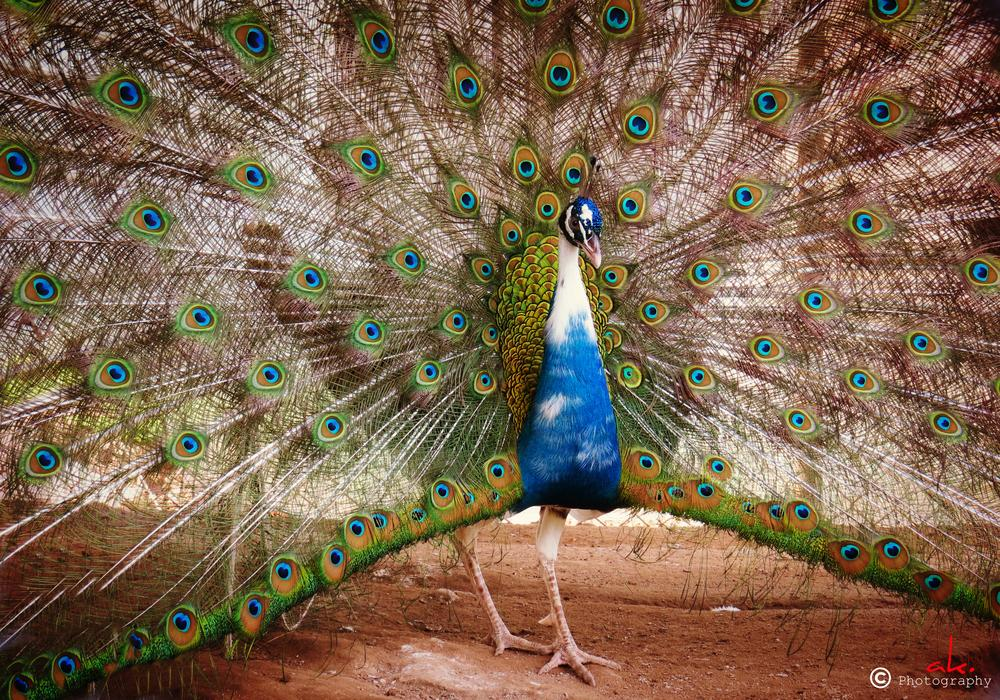 Photo in Animal #peacock #more #wow #beautiful #special #pakistan #islamabad #adoring
