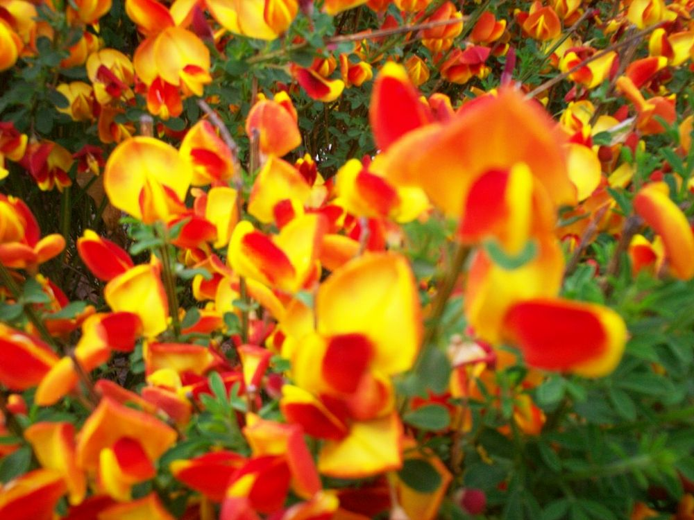 Photo in Landscape #random #red #yellow #flowers #red and yellow #neighbors #landscape #nature #plants #macro