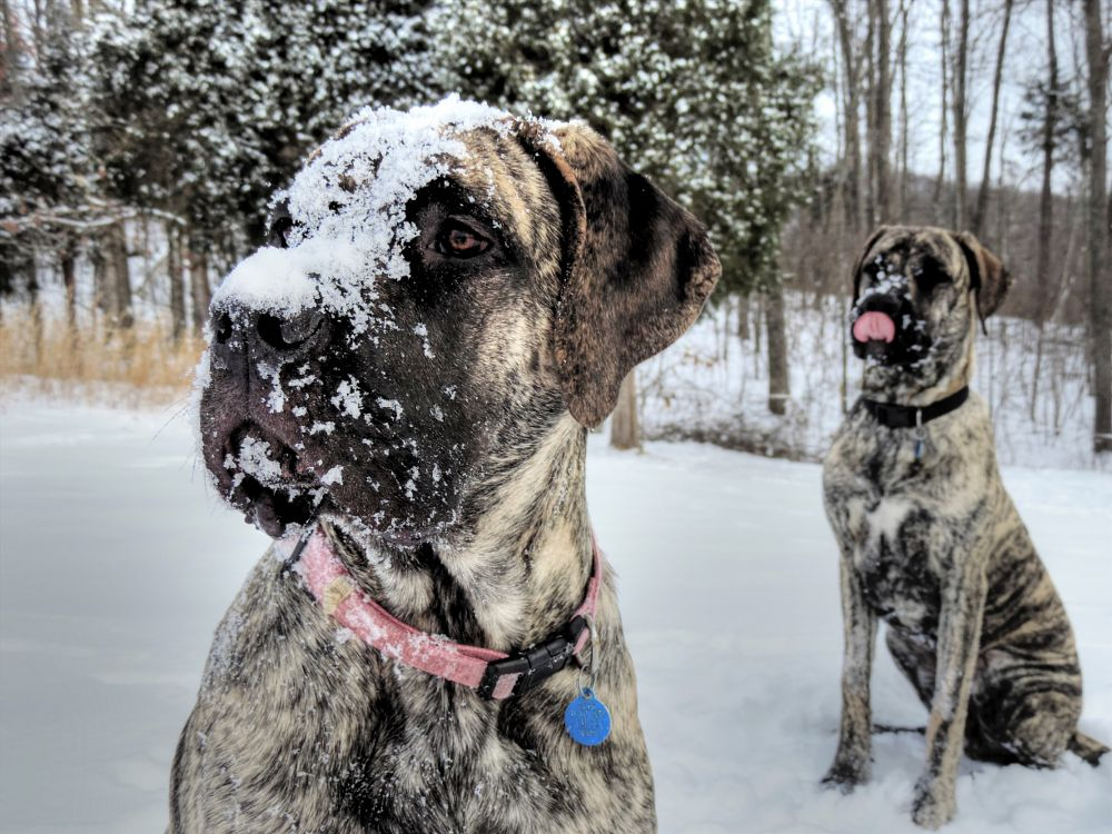 Photo in Animal #snow #pups #brindle dogs