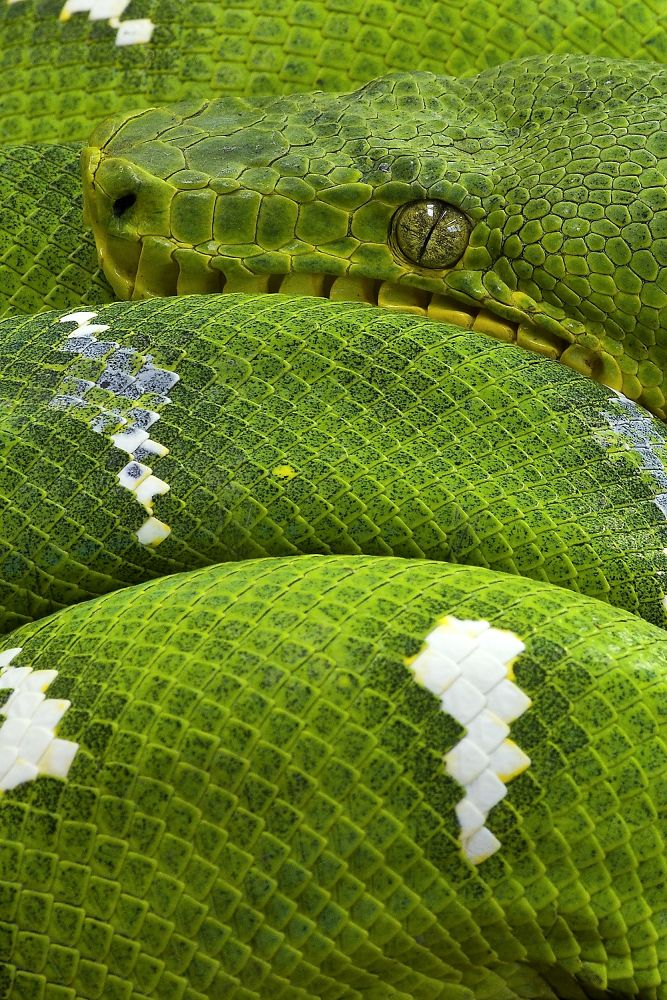 Photo in Nature #corallus caninus #pentax #grüner hundskopfschlinger #grüne hundskopfboa #macro #snake #schlange #grün #green