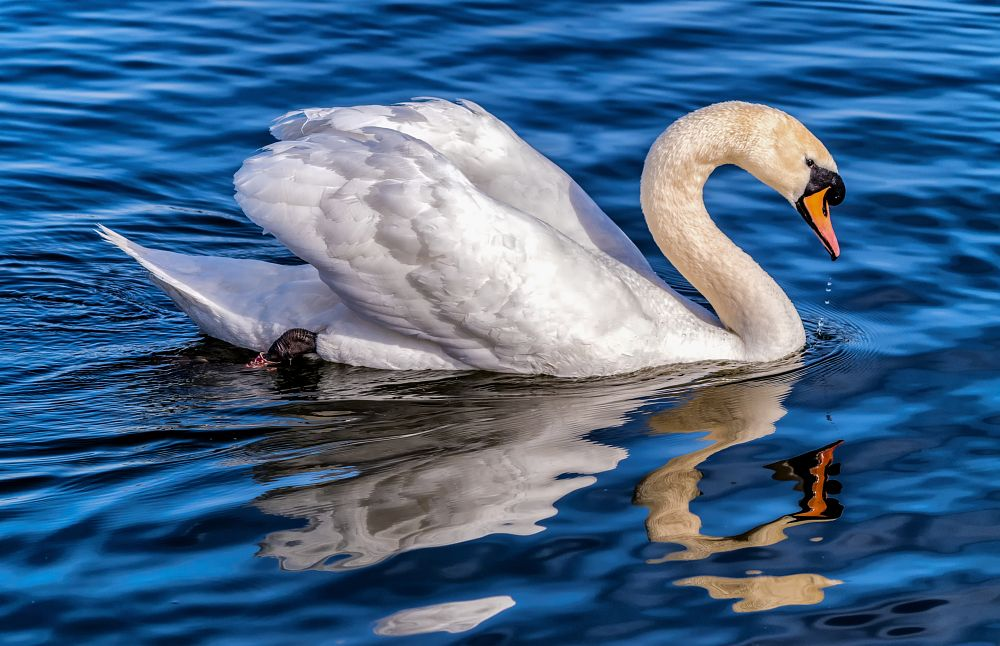 Photo in Nature #swan #bird #wildfowl #wildlife #nature #aquatic #water #patterns #reflections #pentax #sigma #colour #vibrant #contrast #texture