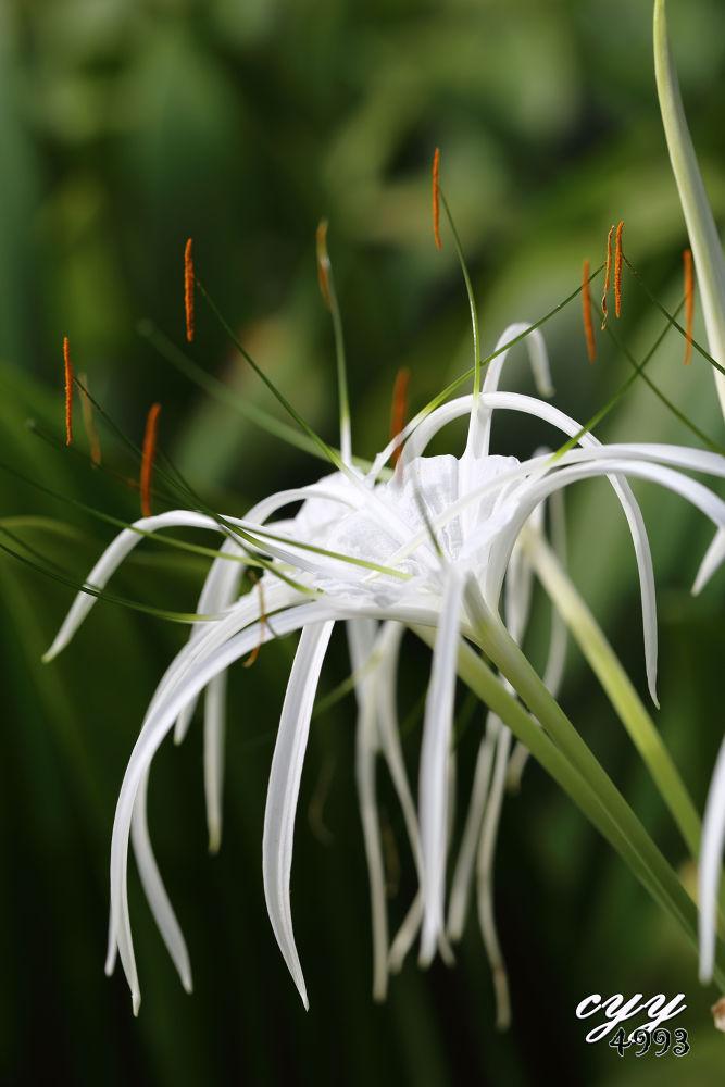 Photo in Random #hymenocallis speciosa #spider lily #amaryllidaceae #cyy4993 #flower #canon eos 6d #canon ef 100mm f2.8l is usm_