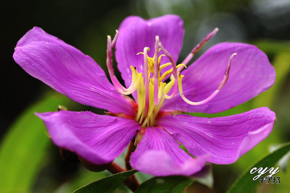 Photo in Random #melastoma malabathricum #blue tongue #melastomataceae #flower #cyy4993 #canon eos 6d #canon ef 100mm f2.8l is usm