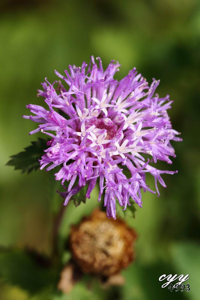 Photo in Random #centratherum punctatum #brazilian bachelor's button #asteraceae #flower #cyy4993 #canon eos 6d #canon ef 100mm f2.8l is usm