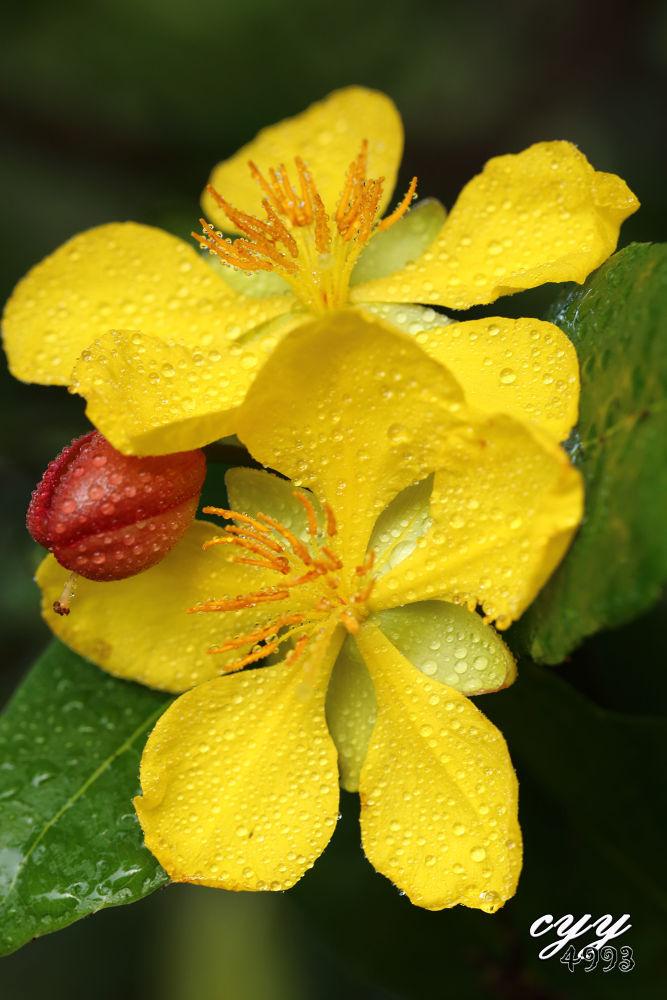 Photo in Macro #mickey mouse plant #ochnaceae #ohcna kirkii #米老鼠树 #cyy4993 #flower #canon eos 6d #canon ef 100mm f2.8l is usm