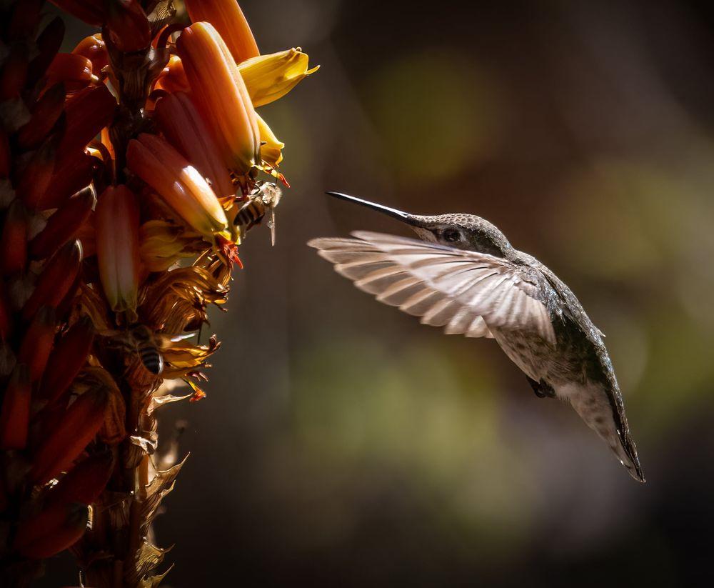 Photo in Animal #bird #hummingbird