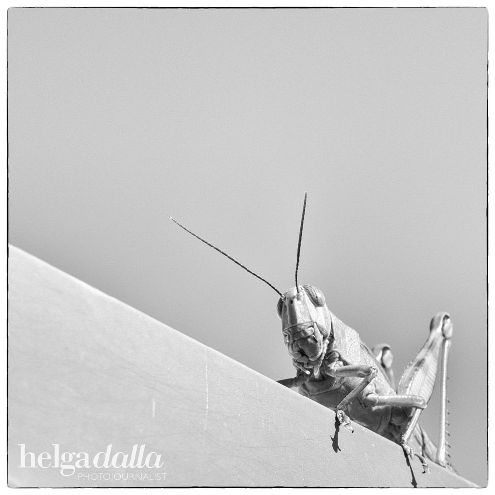 Photo in Black and White #grasshopper #insect #amazing creature #black & white photography