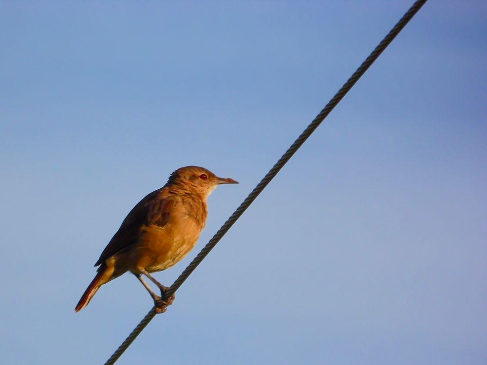 Photo in Animal #joão-de-barro #aves #birds #pássaro #nature #animal