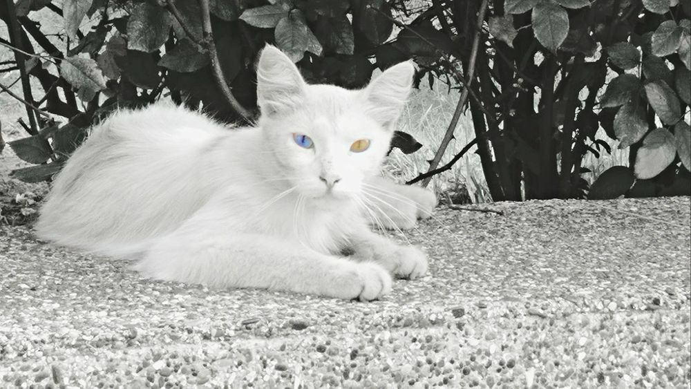 Photo in Animal #cat #two #colour #eyes