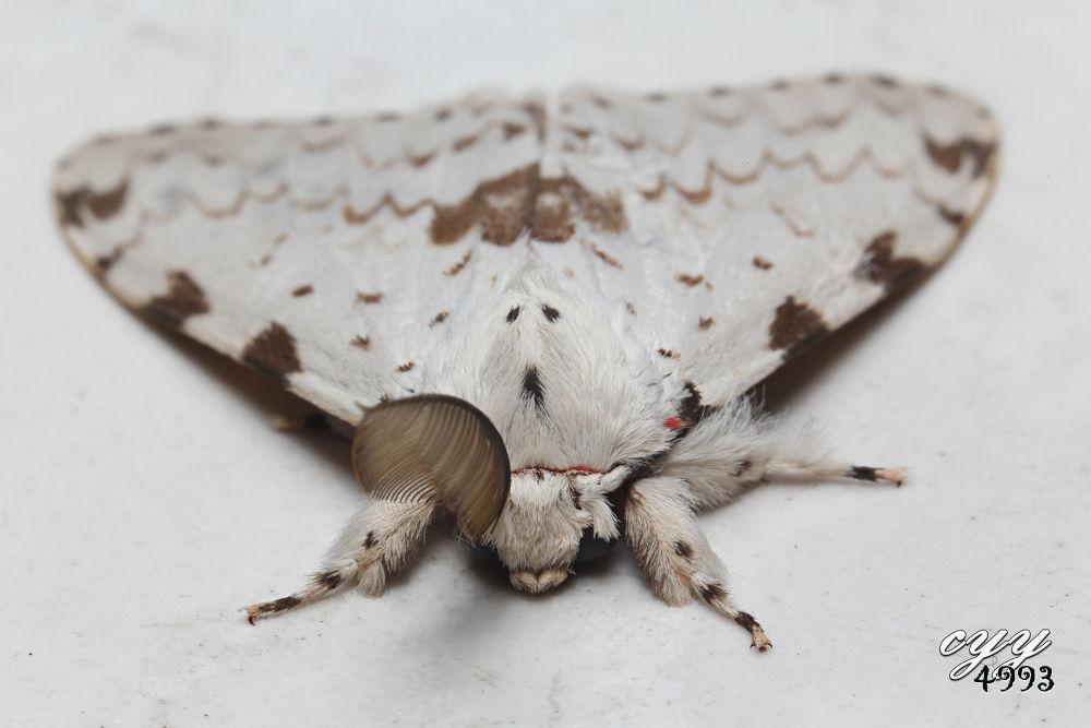 Photo in Random #insect #moth #cyy4993 #蛾 #canon eos 6d #ef 100mm f2.8l is usm #lymantriidae #lymantria marginalis