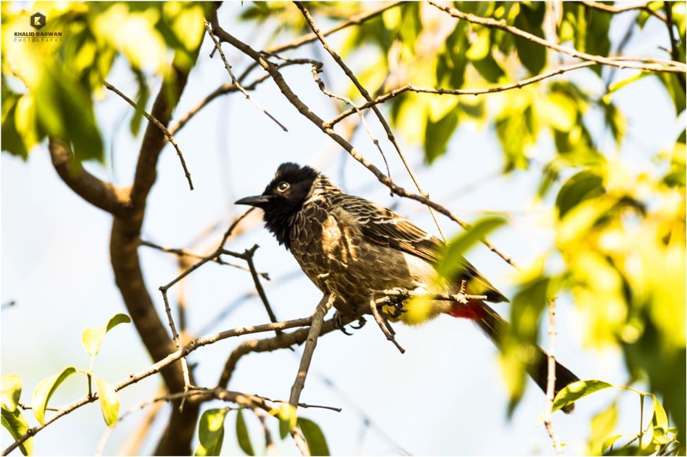 Photo in Animal #bird #bulbul #pune #nikon d3200