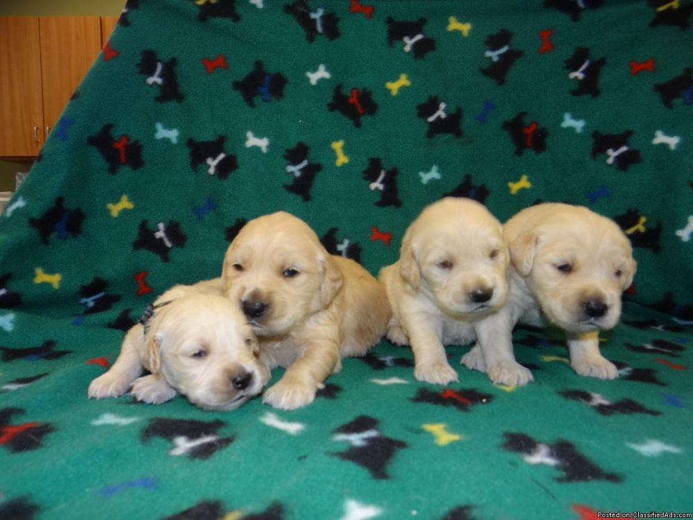 Photo in Random #akc golden retriever puppies o