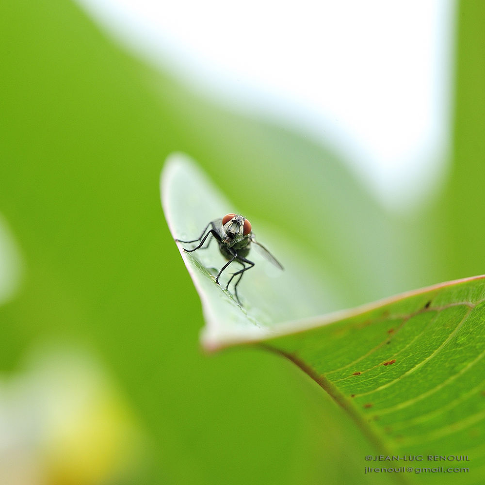 Photo in Macro #macro #fly #insect #insecte #mouche