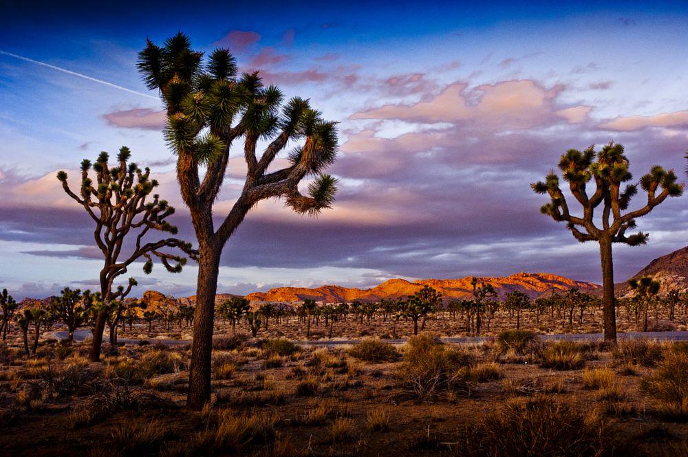 Photo in Landscape #joshuatree #fotograf #frankfurt #ulrichschepp #arizona #usa #desert #joshua #sunset #twilight #wilderness #landscape #landschaft
