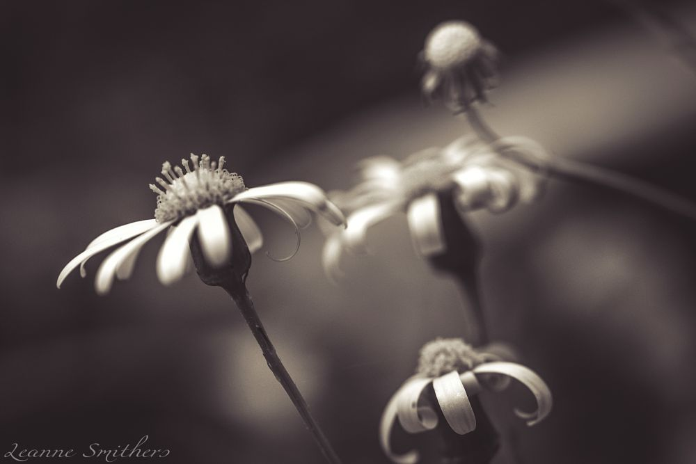 Photo in Macro #flower #garden #fine art #macro #black & white