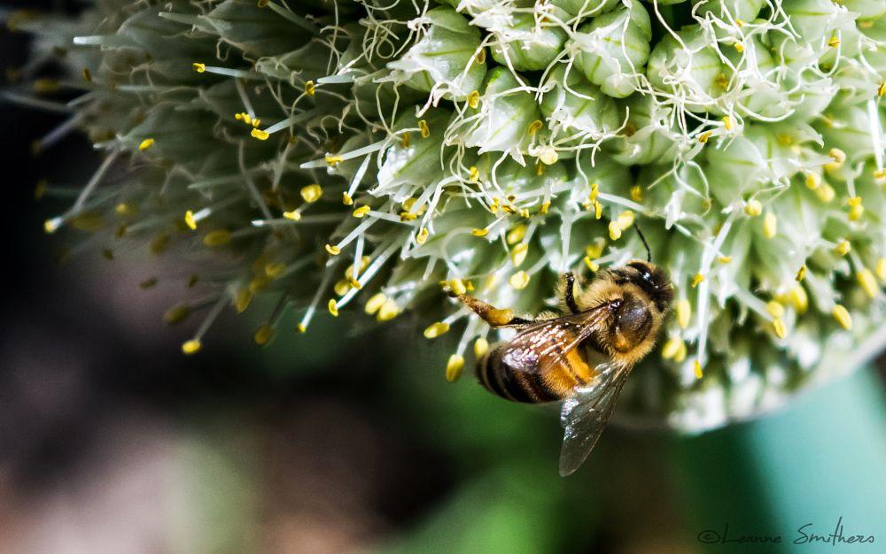Photo in Macro #bee #onion flower #flower #insect #garden #macro #spring