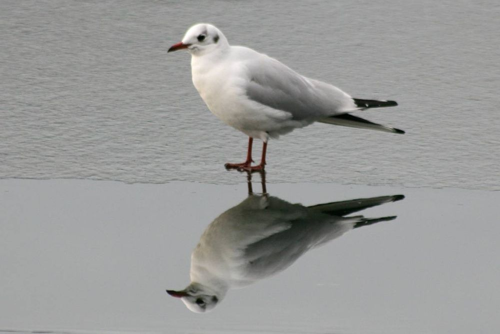 Photo in Nature #lachmöwe #möwe