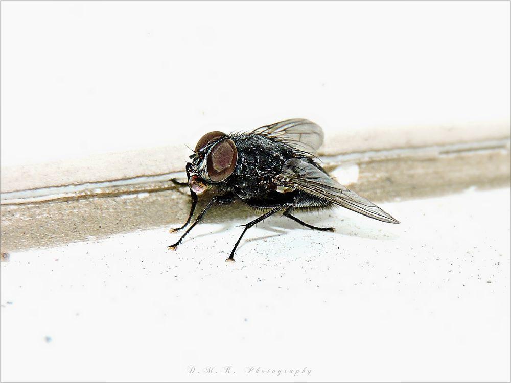 Photo in Macro #polietes domitor l. #diptera #fly #macro