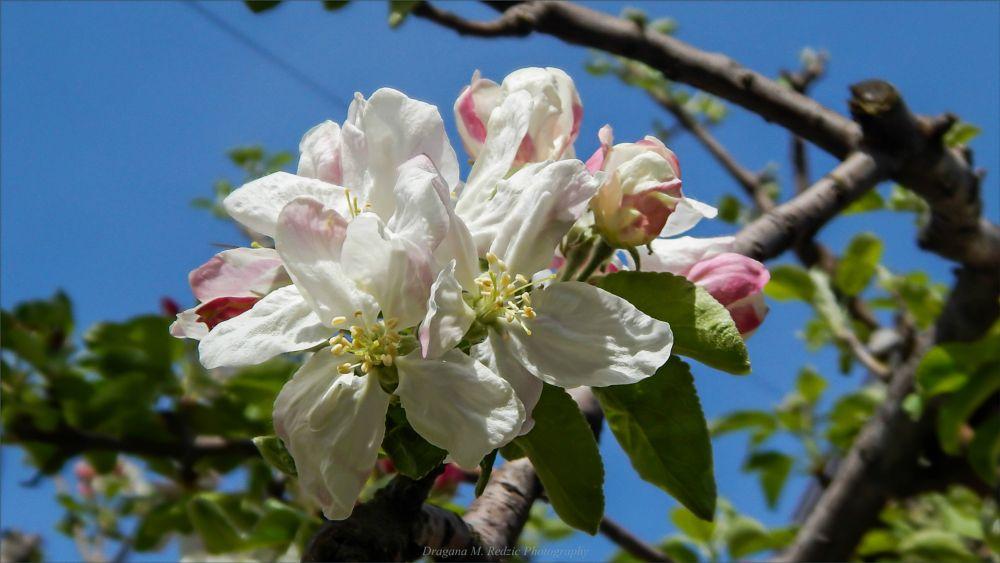 Photo in Macro #flores malus l. #cvetovi jabuke ~ apple blossom #almafa virág #macro/af