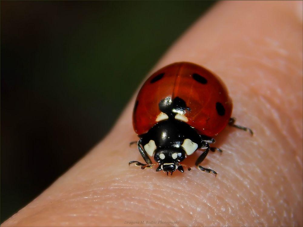Photo in Macro #small ladybug on my index fing #coccinella septempunctata l. #macro