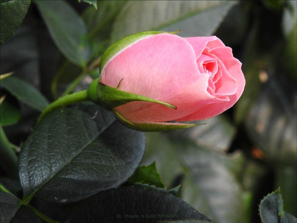 Photo in Macro #flower #rosebud #macro