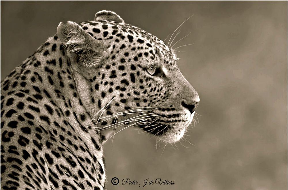 Photo in Black and White #black & white #animals #mammals #leopard #canon #kruger national park #portrait