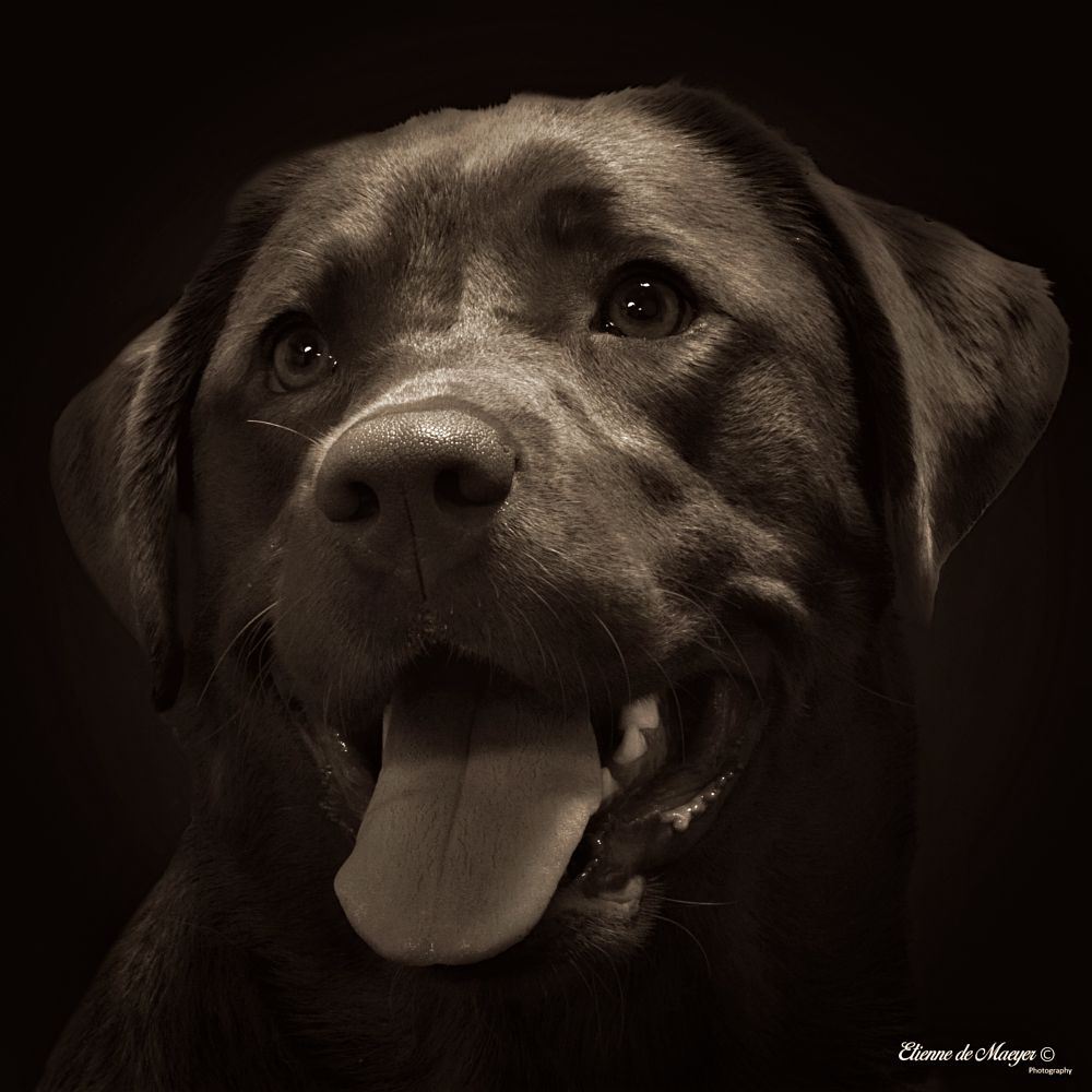 Photo in Black and White #lily #eyes #tintinian #dog #labrador
