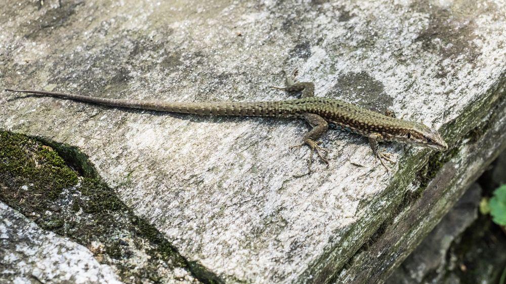 Photo in Nature #lizard