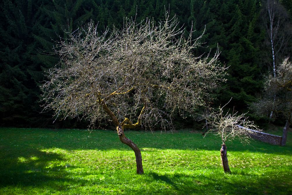 Photo in Nature #spring #tree #green #forest #austria #quirtmair #blossom #bloom