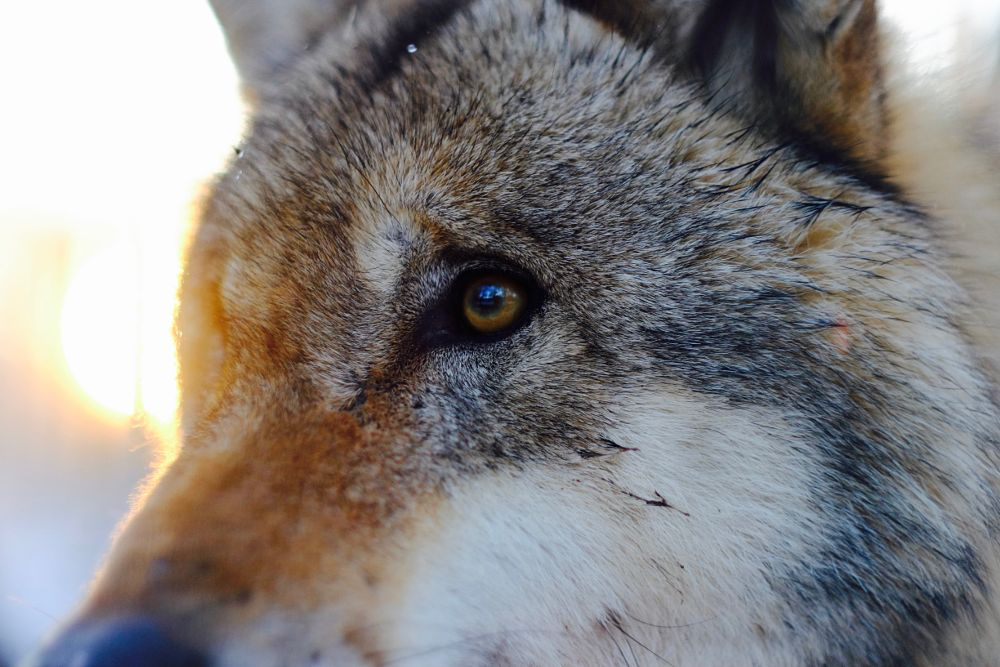 Photo in Animal #wolf
