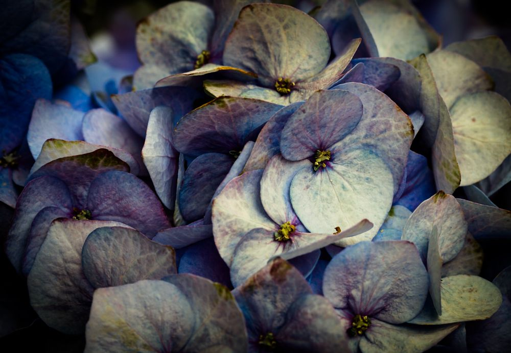Photo in Macro #flower #hydrangea #close up #macro #plant #nature