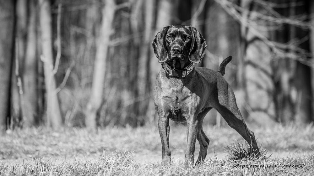 Photo in Animal #dog #animal #pet #blackandwhite #bavarianmountainhound #outdoor #portrait
