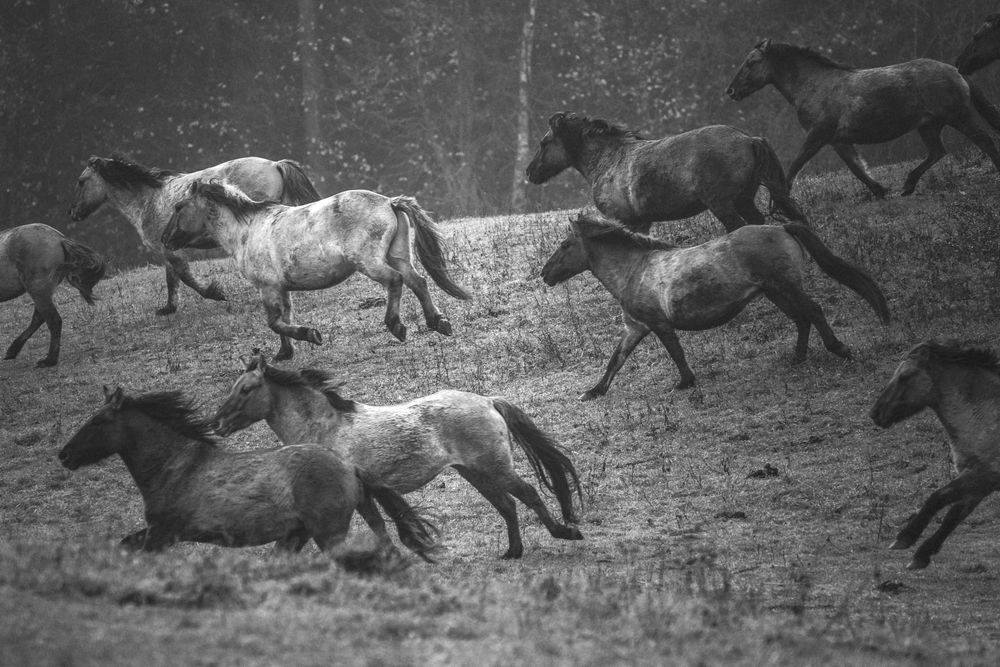 Photo in Animal #horses #horse #animal #equine #equestrian #nature #blacandwhite #group #gallop #action
