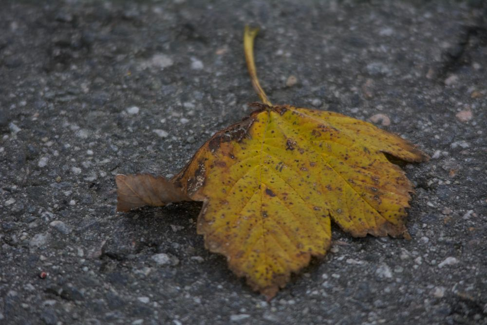 Photo in Nature #death #leaf #autumn #asphalt #withered