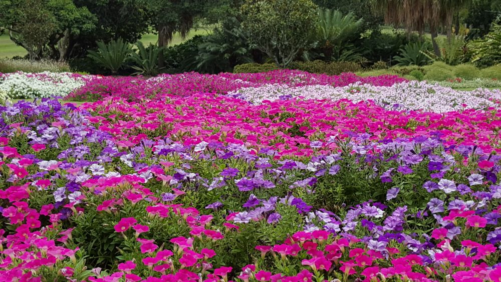 Photo in Landscape #pink and purple #flowers #brisbane