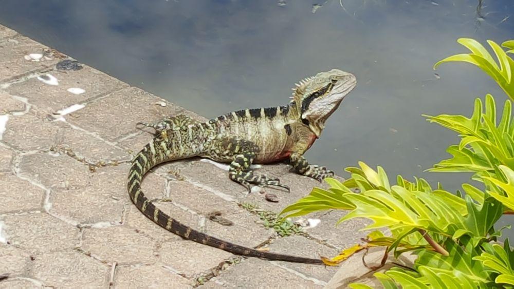 Photo in Animal #lizard #reptile #brisbane queensland australi