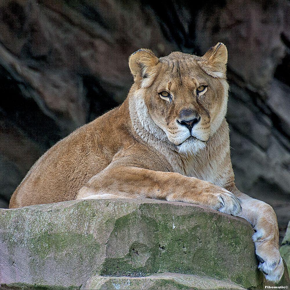 Photo in Animal #zoo #antwerp #lion #fibomatic