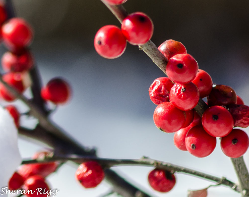 Photo in Nature #berries #red