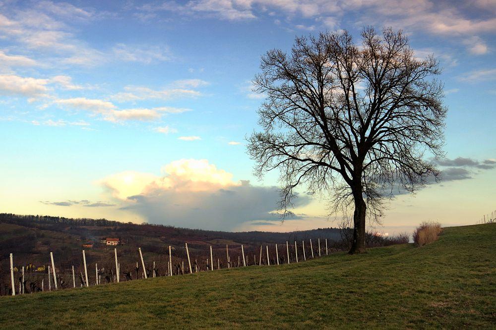 Photo in Landscape #tree #vineyard #clouds
