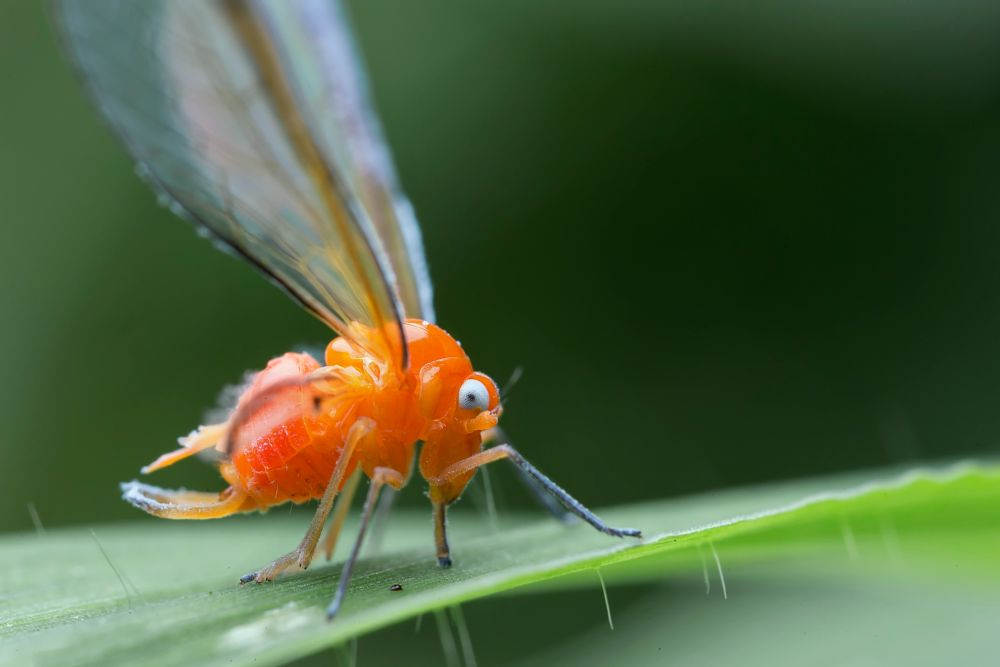 Photo in Macro #insect #derbid planthopper #nature