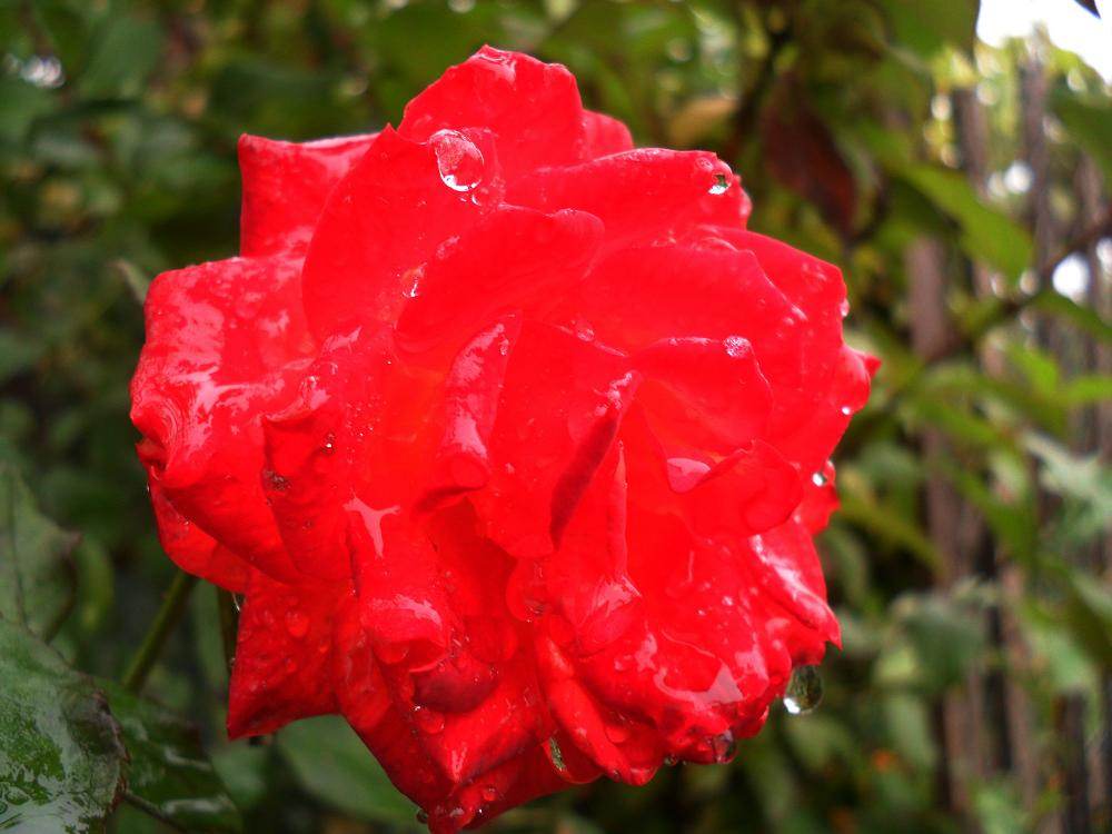 Photo in Nature #autumn #rose #red #weather