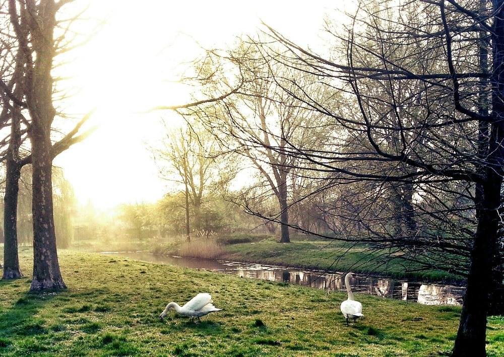 Photo in Nature #swans #tree #photography #sun #love #loyalty