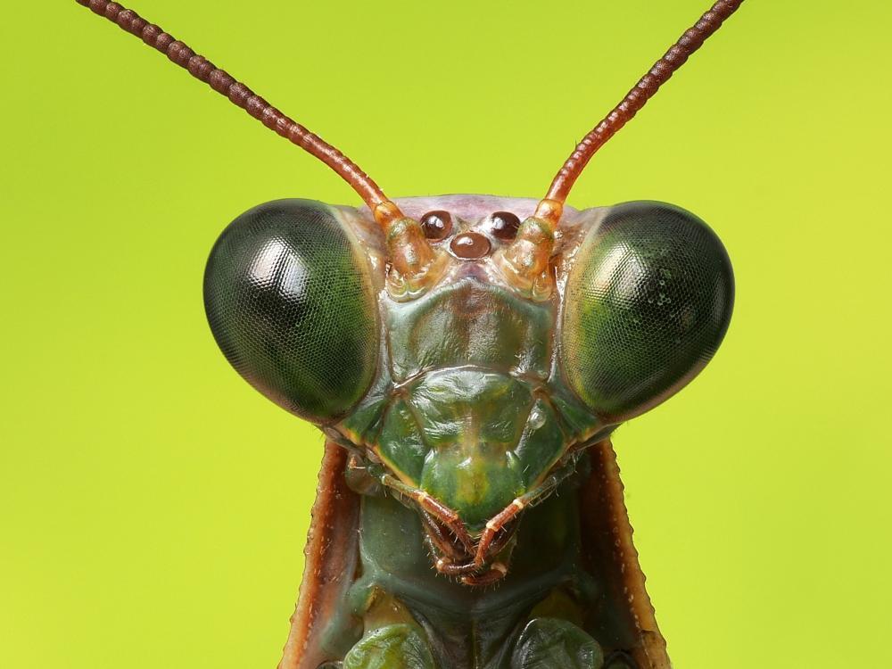 Photo in Macro #mantis #kudlanka #hmyz
