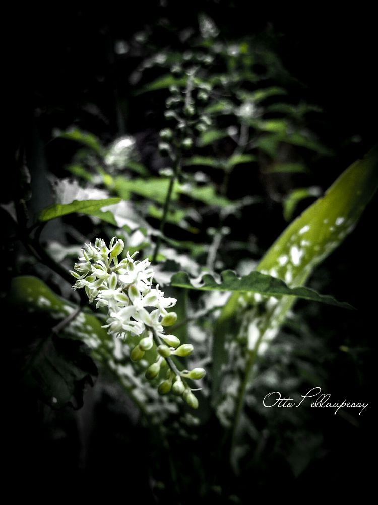 Photo in Nature #flower #white #buds #nature #garden #home