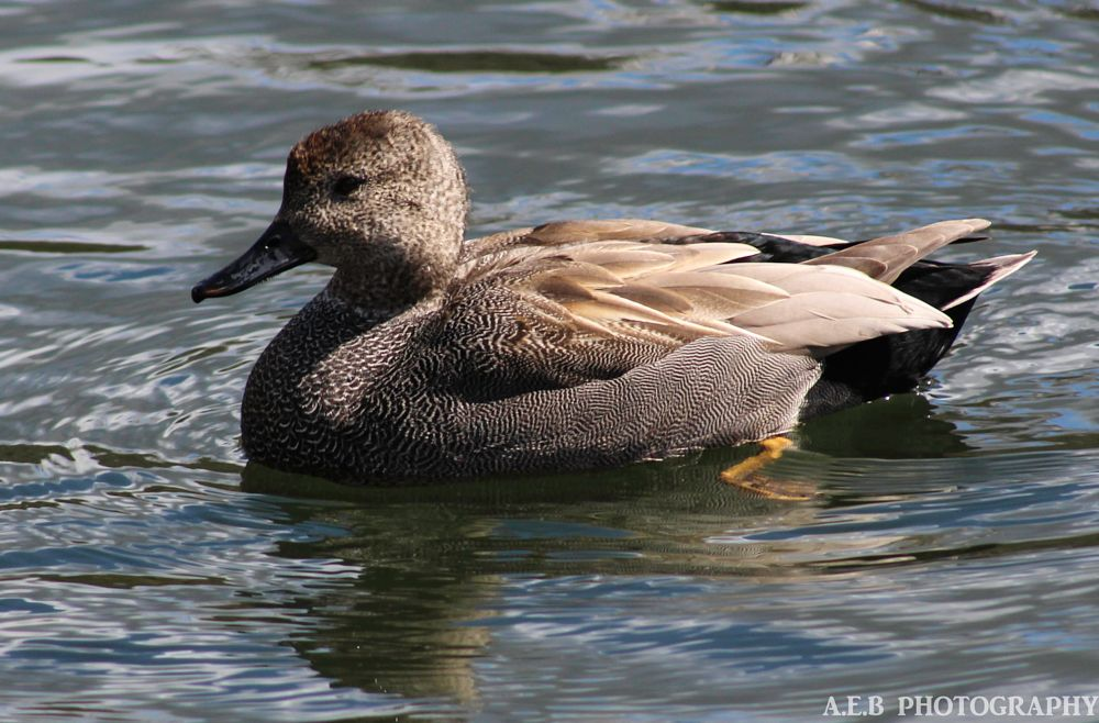 Photo in Animal #ducks #gadwell #nature #wildlife #animals #birds #water birds #photography #uk #2016 #spring #clumber park