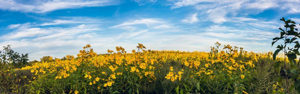 Photo in Landscape #flowers #hill #field #wild sunflowers #yellow #sky
