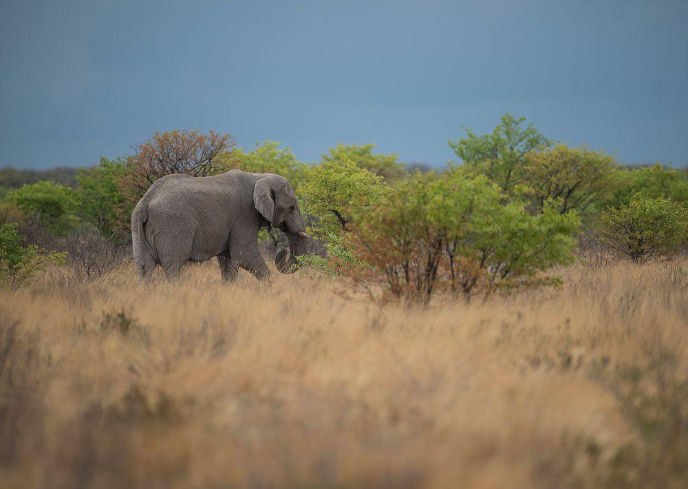Photo in Animal #elephant #namibia #etosha #animal #grass #yellow #green #elefant #wildlife #wild #wildanimal #tree