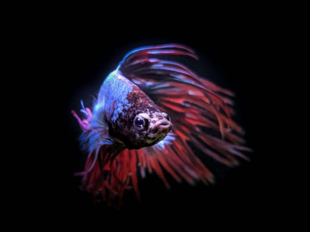 Photo in Animal #betta #fish #siamese fighting #fins #low key
