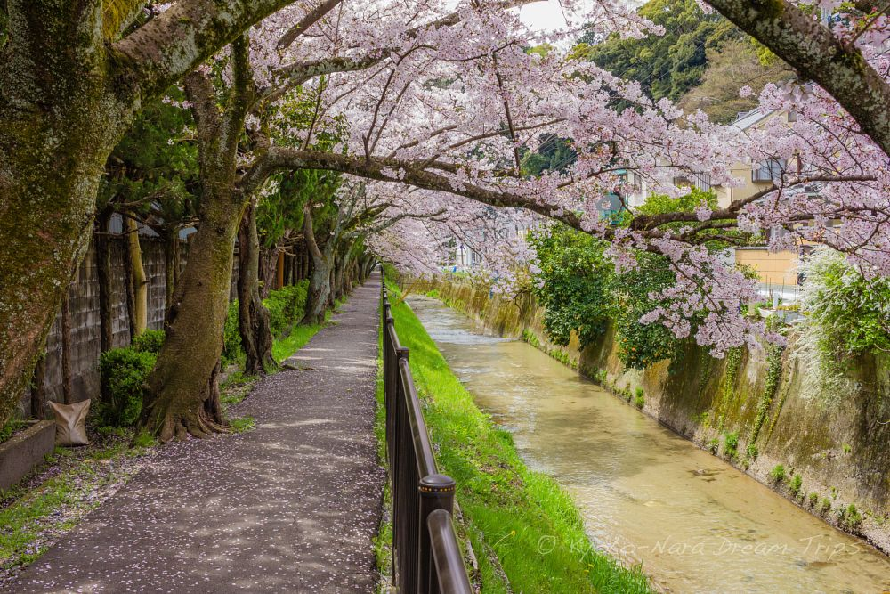 Photo in Street Photography #kyoto #japan #cherry blossoms #sakura #桜の花